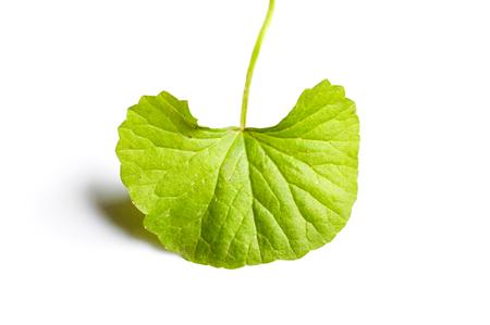 asiatic: Asiatic leaf