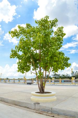 ourdoor: tree in Sotorn temple