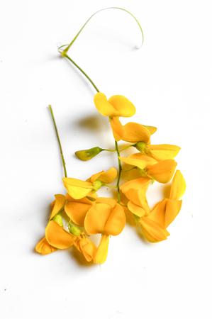 leguminosae: sesbania flower Stock Photo