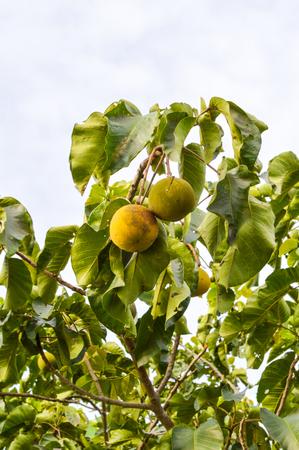 santol hanging on tree