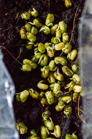 bean sprouts: Mung bean sprouts