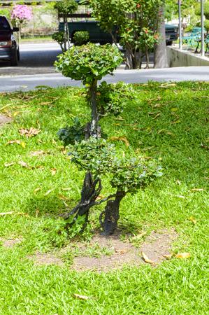 banian: Bonsai tree