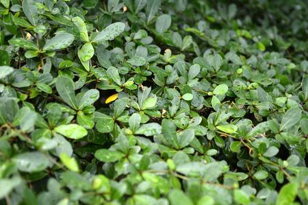 myrtales: Leaves of Terminalia ivorensis Chev