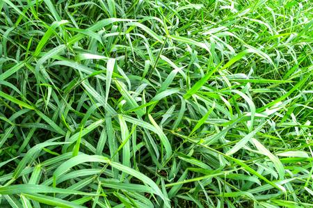 paragrass  Zdjęcie Seryjne
