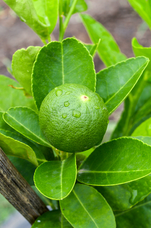 fresh lime at the tree