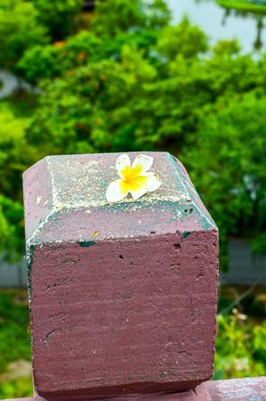 frangipani flower on cement