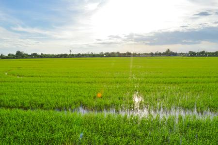 green fields in sunset, Thailand  스톡 콘텐츠