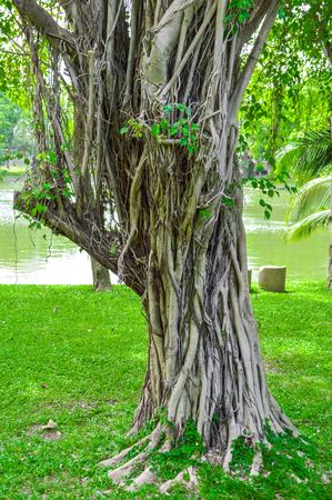 banyan: ra�ces de ficus