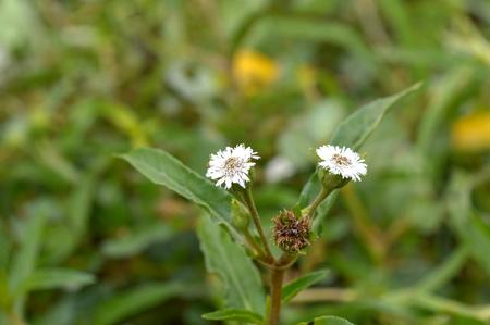 compositae: Compositae flower  Stock Photo