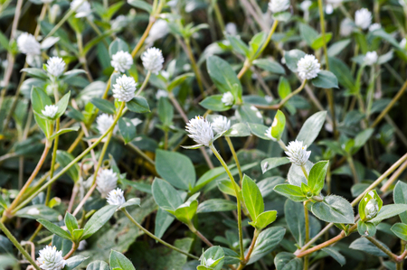 Gomphrena weed