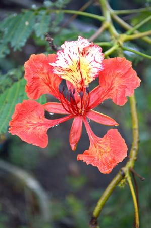 flamboyant: Flam-boyant, The Flame Tree