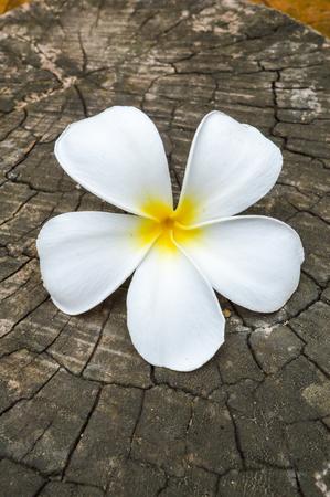 frangipani flower on stump Фото со стока
