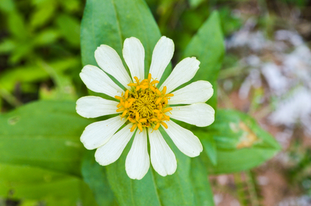 elegans: white zinnia elegans flower
