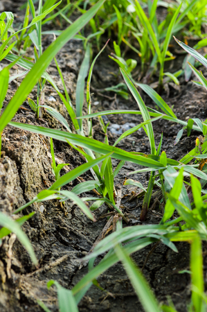 Manila Grass