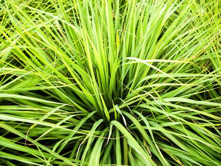 blad citroengras