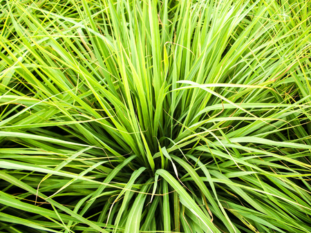 leaf lemon grass Stock Photo