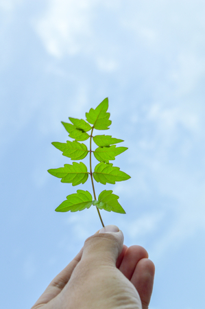 fourleaved: The person holds in a hand a leaf on a background of the cloudy sky