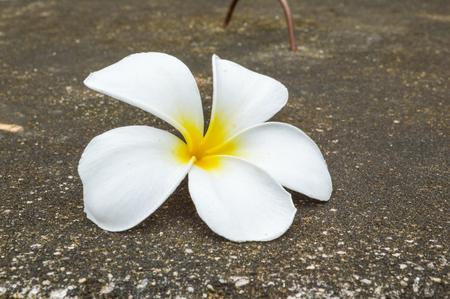 frangipani flower on cement floor