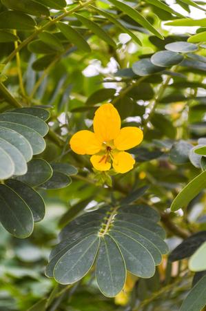 leguminosae: Senna siamea flower