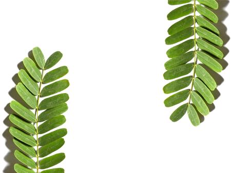 Tamarind leaf isolated on white background  photo