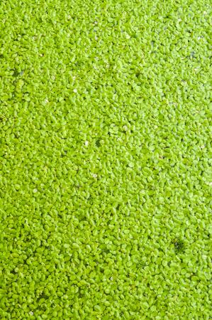 duckweed: green duckweed