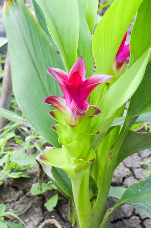 Curcuma Zedoaria s Flower