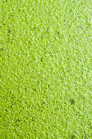 green duckweed