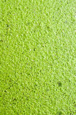green duckweed  photo