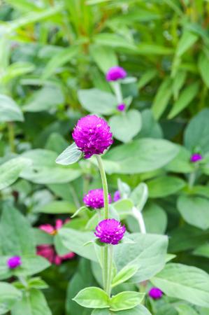 Gomphrena flower