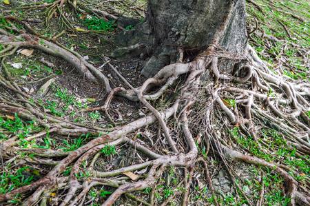 banyan: banyan roots