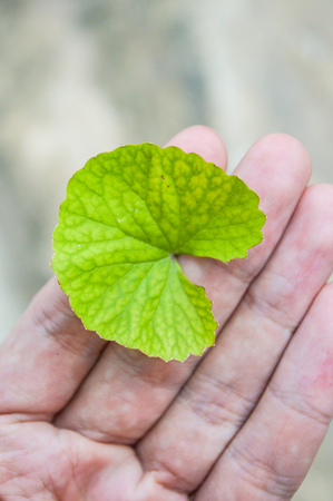Centella asiatica bij de hand Stockfoto