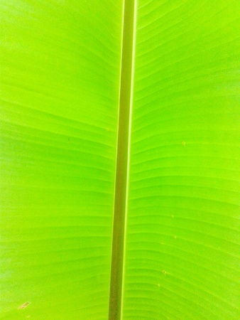 backdrop: Banana leaves background