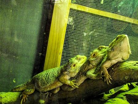 Iguana Фото со стока - 30930483