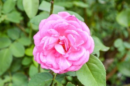 roze Rose