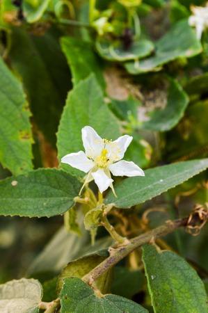 Calabura flower 版權商用圖片