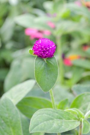 Gomphrena flower Banco de Imagens