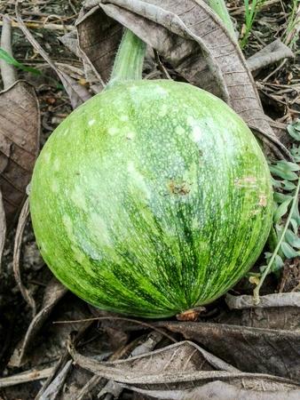 Green Pumpkin in garden