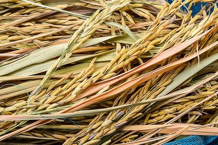 Dry rice tree Stock Photo - 31335087