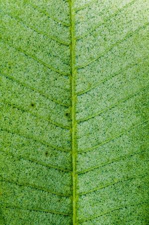 Frangipani or Plumeria leaf Фото со стока