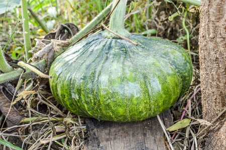 Pumpkin vegetable