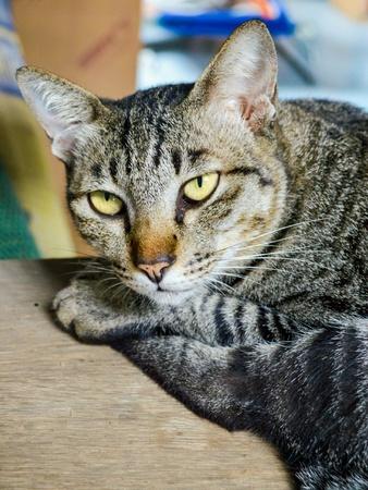 eye: Thai cat