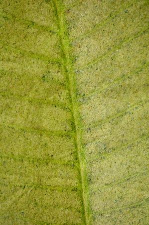 Frangipani or Plumeria leaves
