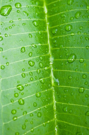 Water drops on Frangipani or Plumeria leaf