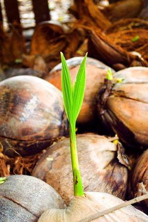 young coconut tree Фото со стока