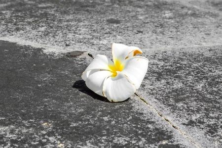 plumeria flower on cement floor