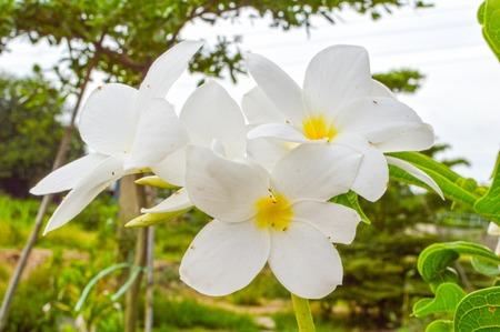plumeria flower in garden