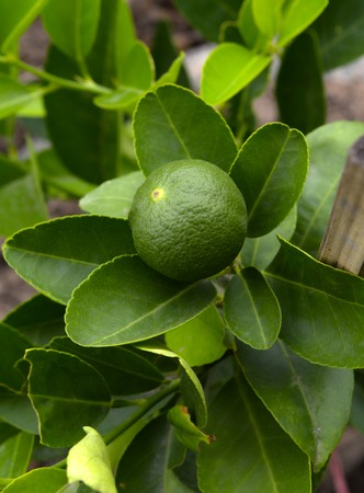 fresh lime on the tree