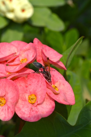 paper wasp: Paper wasp on Pink Crown of thorns flower in garden