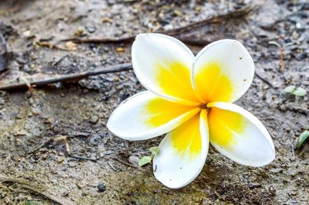 Frangipani flower or plumeria flower on the ground