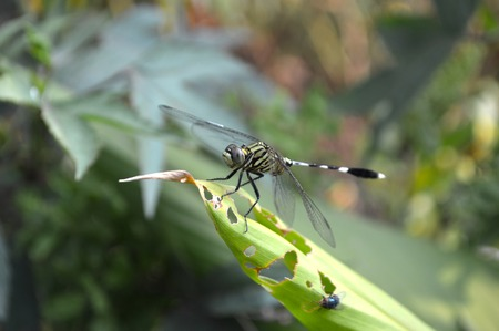 anisoptera: Dragonfly on green grass Stock Photo